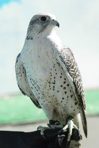 Falco_rusticolus_1
