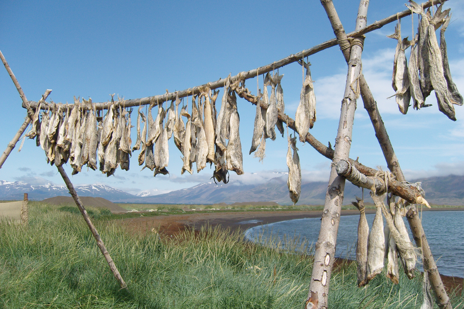 Drying stockfish (rundfisk type) in Iceland. Image: Wikimedia Commons.