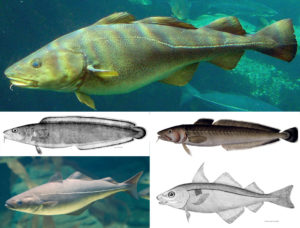 Different species of the Gadidae family used in the production of stockfish. Clockwise, starting at the top: cod (Gadus morhua), ling (Molva molva), haddock (Melanogrammus aeglefinus), pollack (Pollachius virens), tusk (Brosme brosme). images: Wikimedia Commons